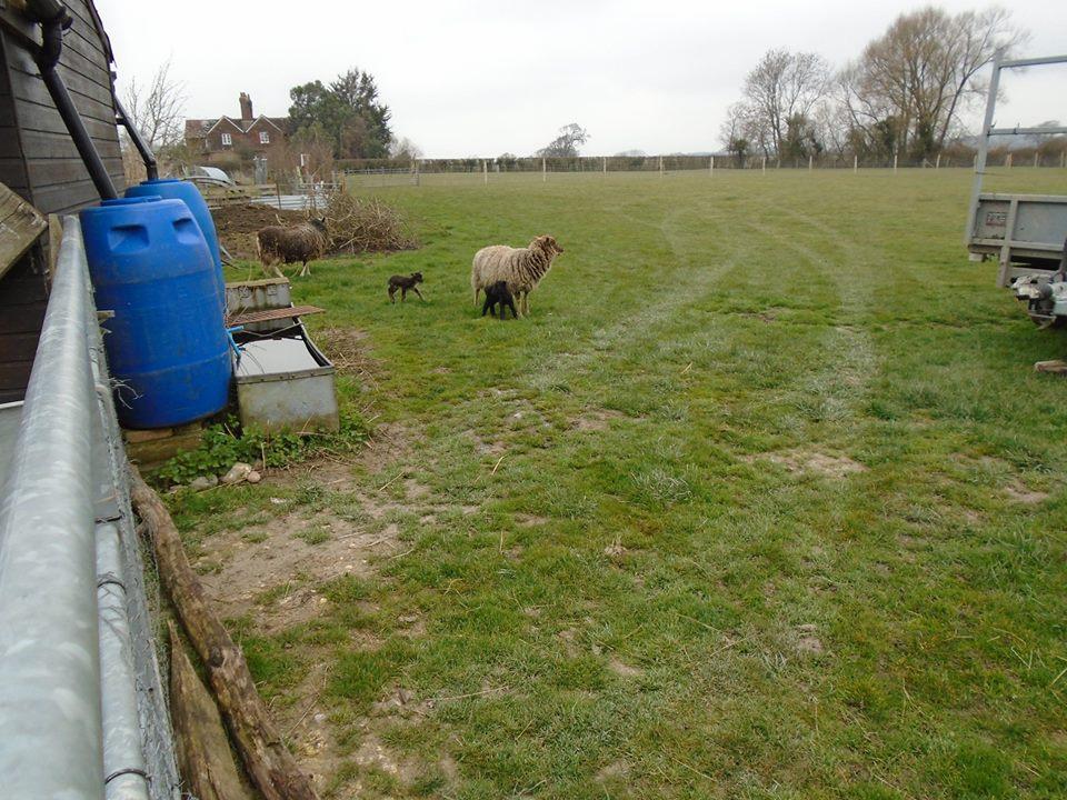 lambs BB owena mar 2018.jpg