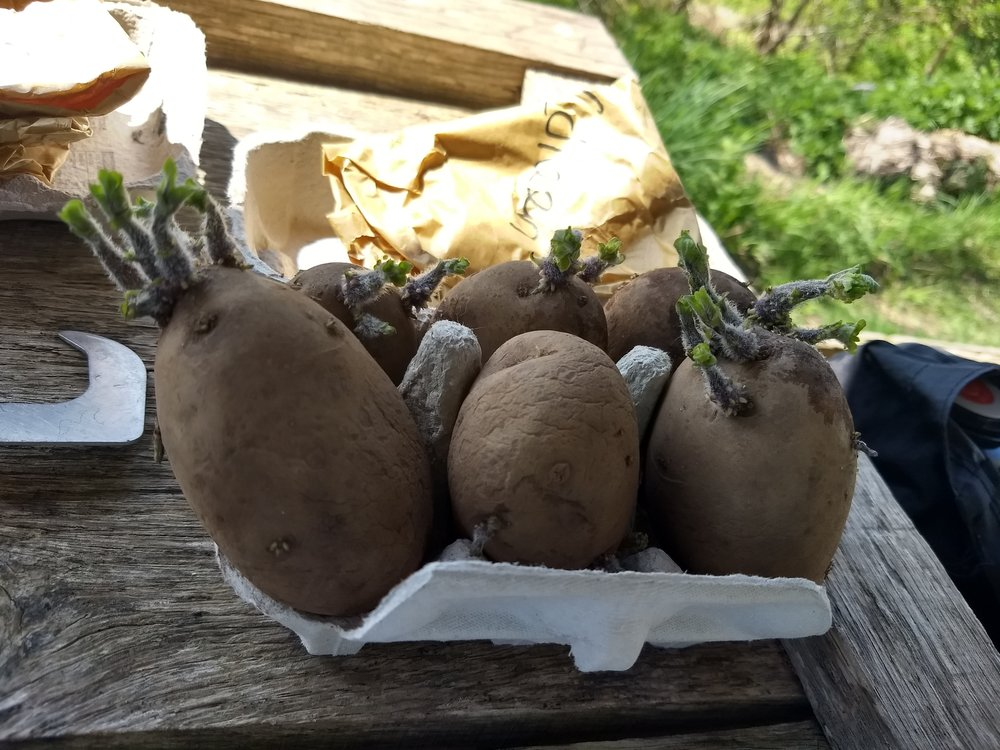 Seed potatoes ready to plant