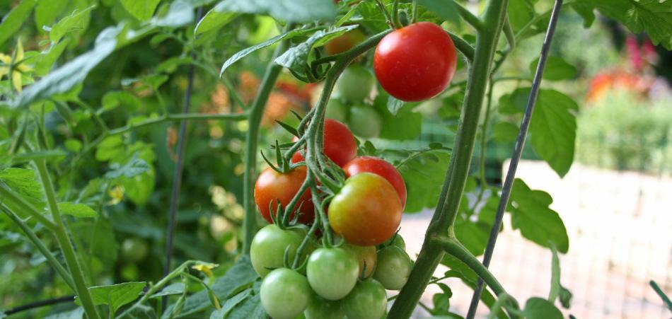 2vegetable_garden_tomato.jpg
