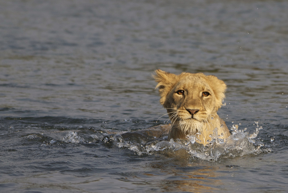 animals-lion-zambia-photo.jpg