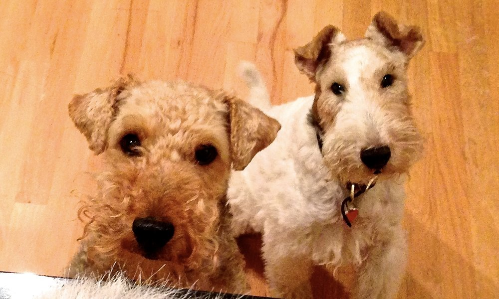 These beautiful terriers (Molly on the left, and Tyler on the right), were my four-legged kids and boon companions when I lived in Seattle and Portland.  .