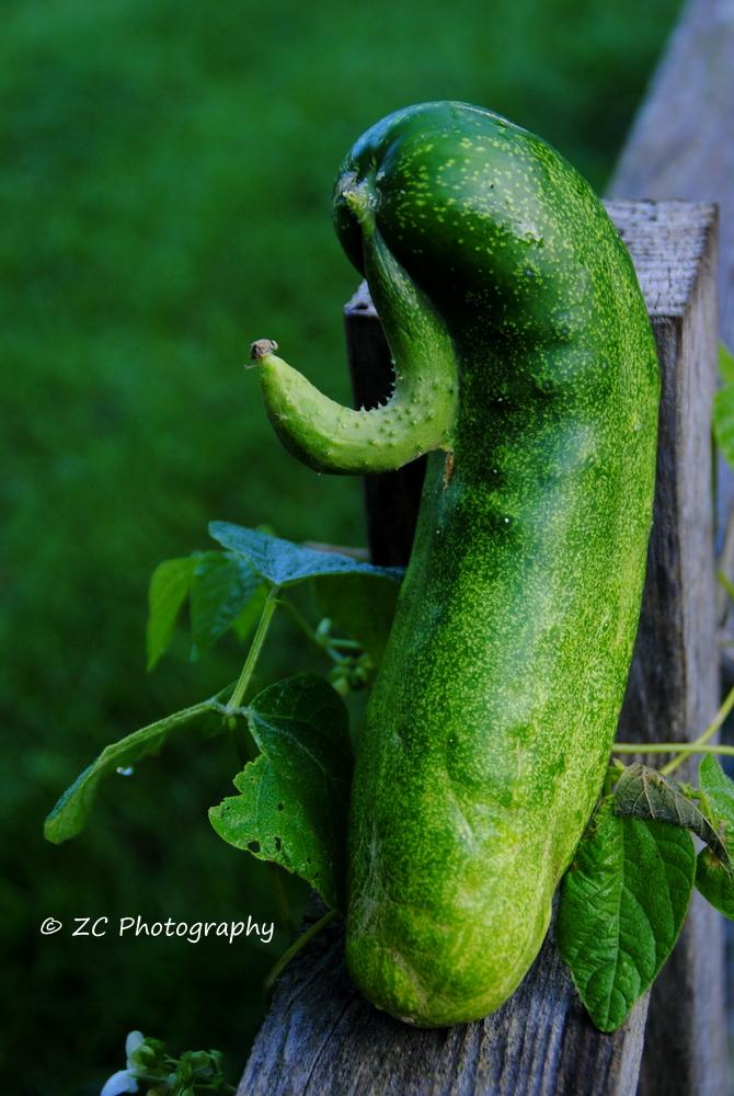 Cucumber from Bette (18).JPG