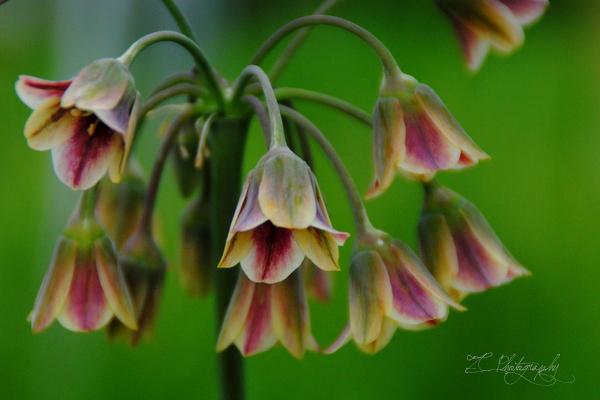 Allium bulgaricum (11).JPG
