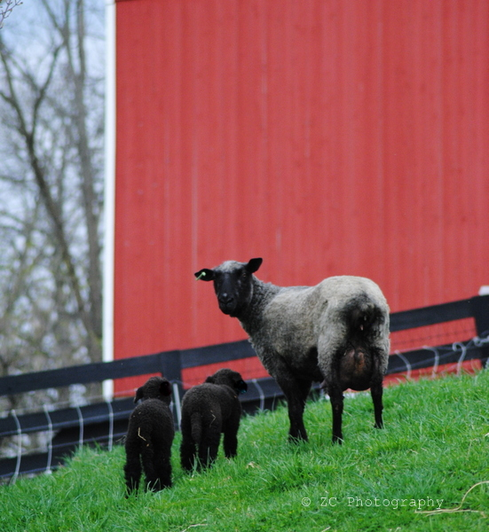Marshall Clark Sheep (11).JPG