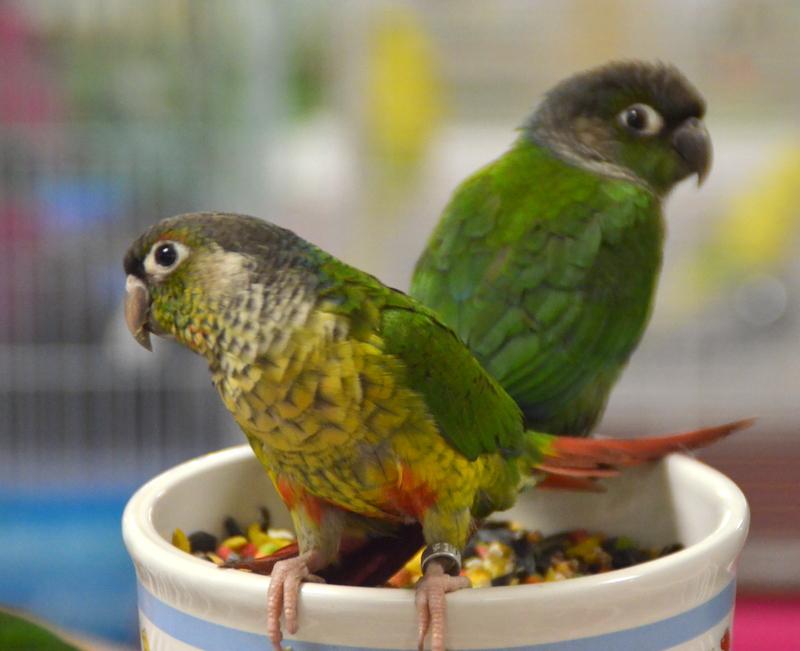 Bird Fair_1-7-18 _Green Cheek Conure (17).JPG