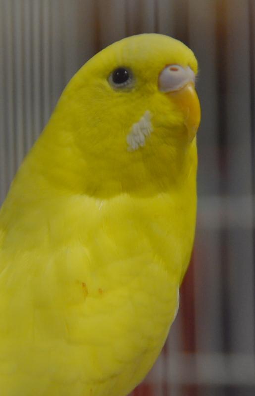 Bird Fair 1-7-18_Budgie (14).JPG