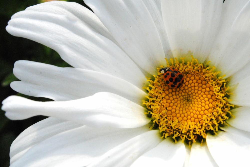 Leucanthemum Daisy May w Ladybug.JPG