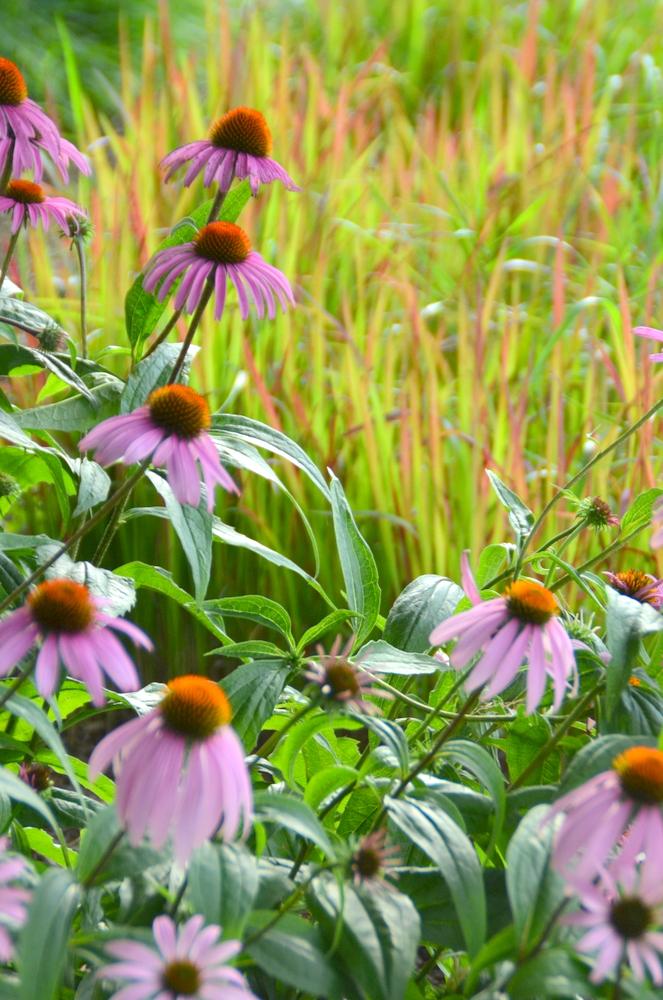 Echinacea w Imperata 2.JPG