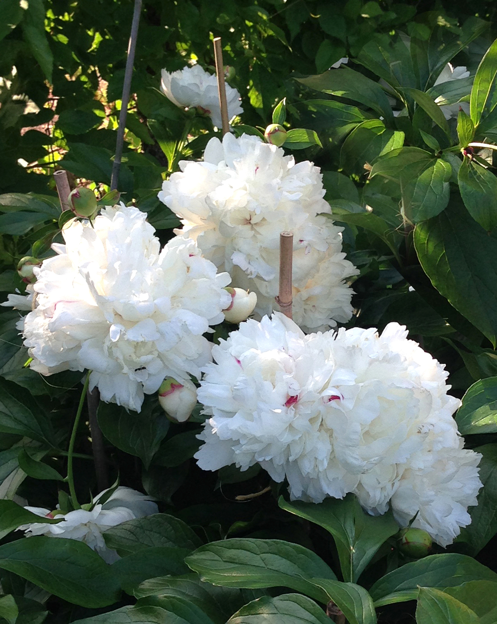 White Peonies in Garden