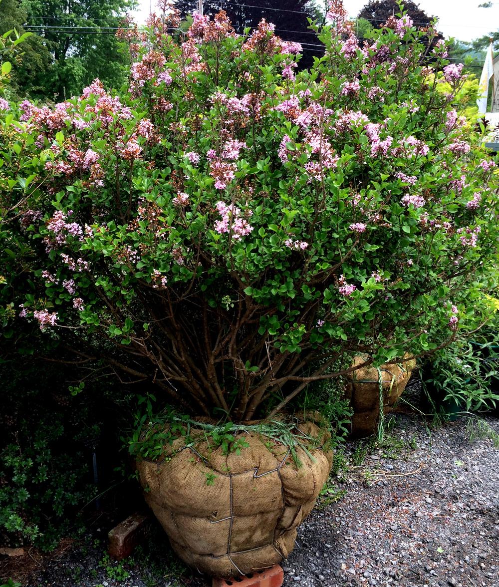 Berkshire Botanical Garden Plant Sale 2016 #3