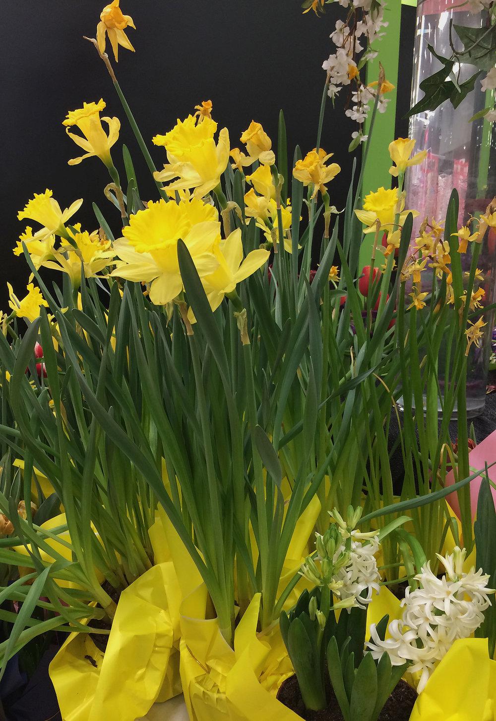 Daffodil-nursery-Squarespace-IMG_2931.jpg