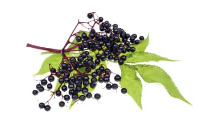 Elder Berries   Sambucas nigra