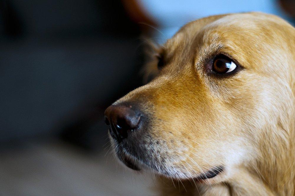 animal-dog-golden-retriever-9716.jpg