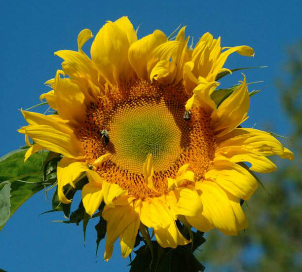 sunflower with bees squarish crop.jpg