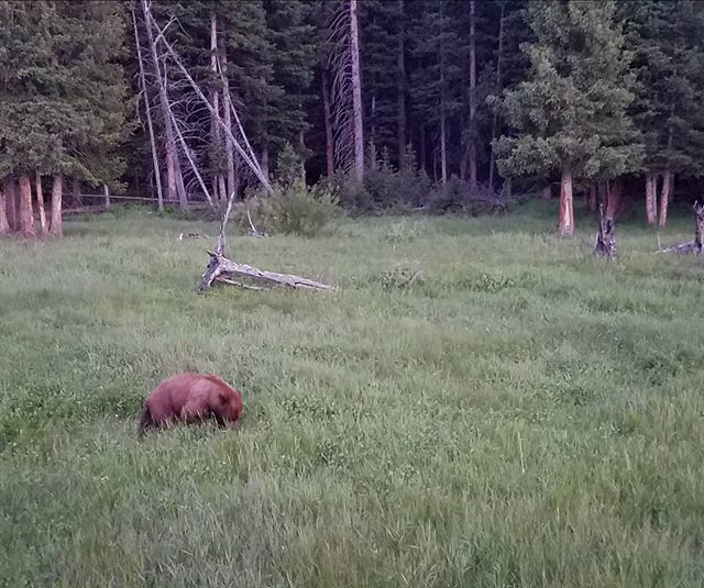 Bear photography... with a phone held out the window! So many bears, grizzly and black, were out and about in Yellowstone National Park this past week! Thus cinnamon- colored black bear was munching away in a meadow late one evening.  I wish every person in our country could experience Yellowstone at least once in their life. While parts of it might be crowded (especially in summer) it's wide open spaces, abundant wildlife, fascinating geologic wonders, and stunning scenery touch something deep in our souls reminding us that we are profoundly connected to the natural world.  #yellowstonenationalpark, #naturephotography, #wildlifephotography, #wildearthvisions, #bears, #wonderful_places