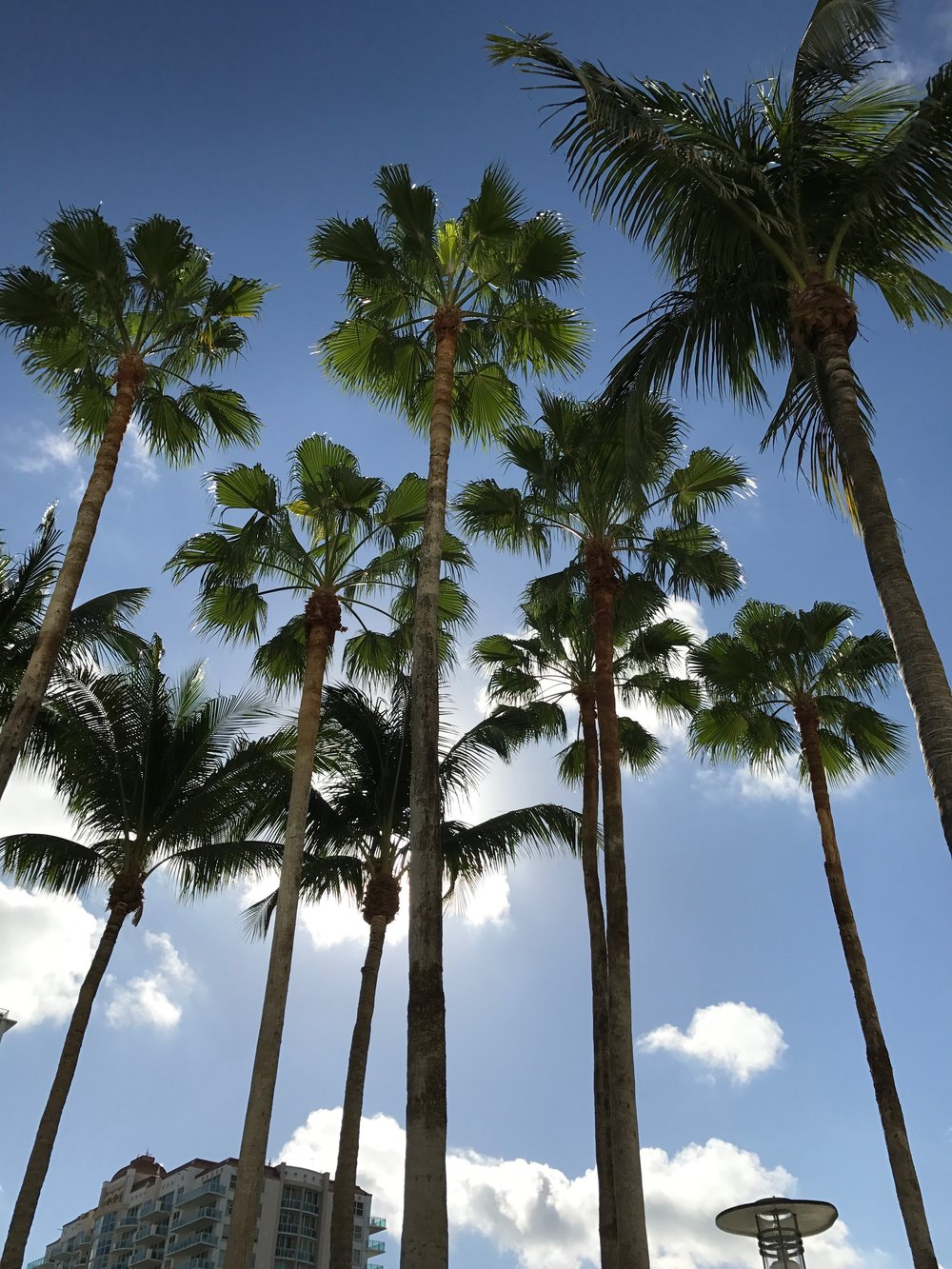 Florida Palm Trees