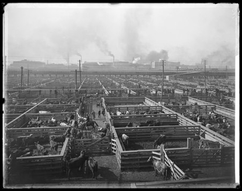 Cattle pens at Union Stock Yards, Chicago, Illinois, circa 1900.