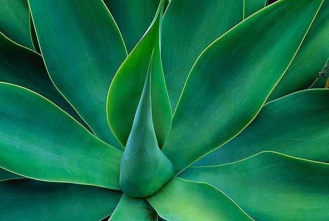 There are over 400 species of agave. Agave species can make a great statement when highlighted by a well mulched garden bed. There long clean trunk and unique shaped leaves can look beautifully in the right setting 🌵