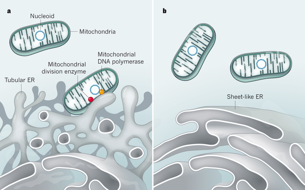 Cell biology: The organelle replication connection