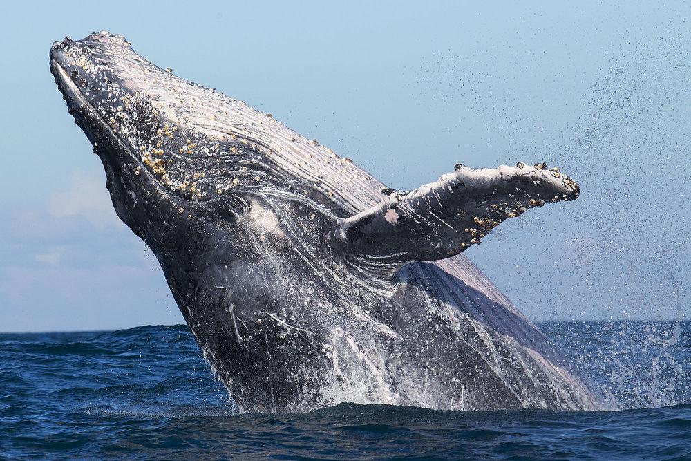 whale2_ottowhitehead.jpg