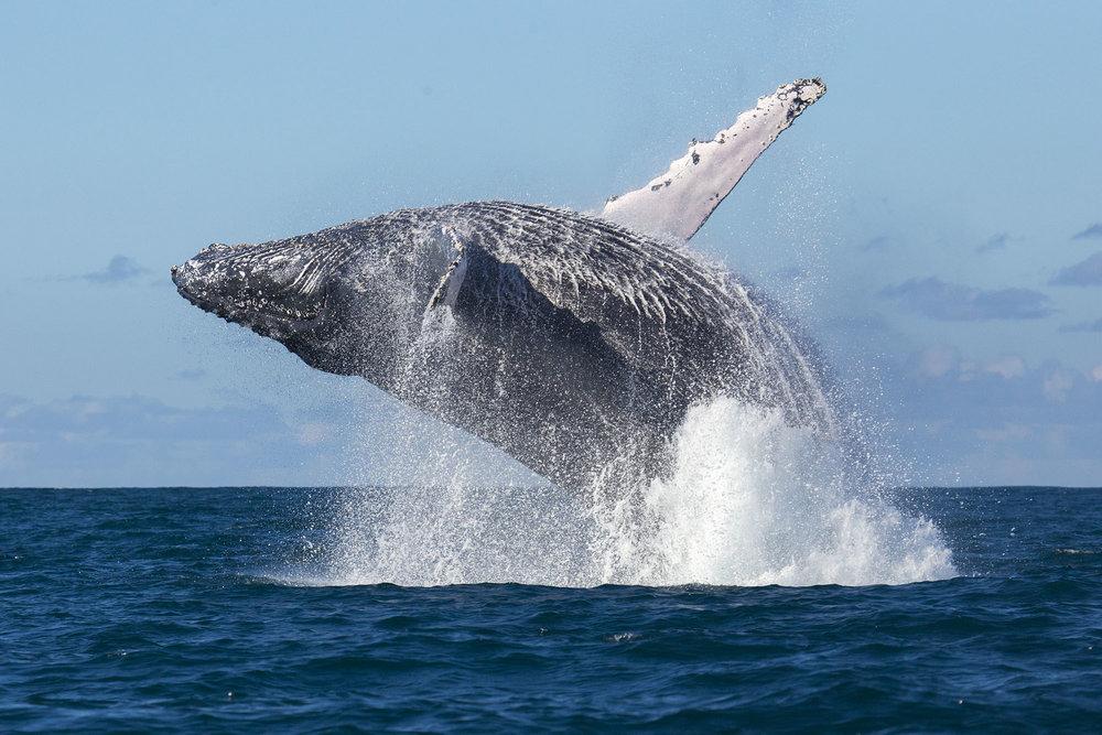 whale_ottowhitehead.jpg