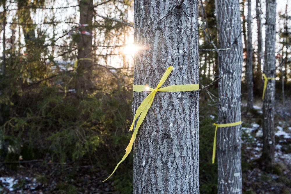 Träd uppmärkta för fällning.