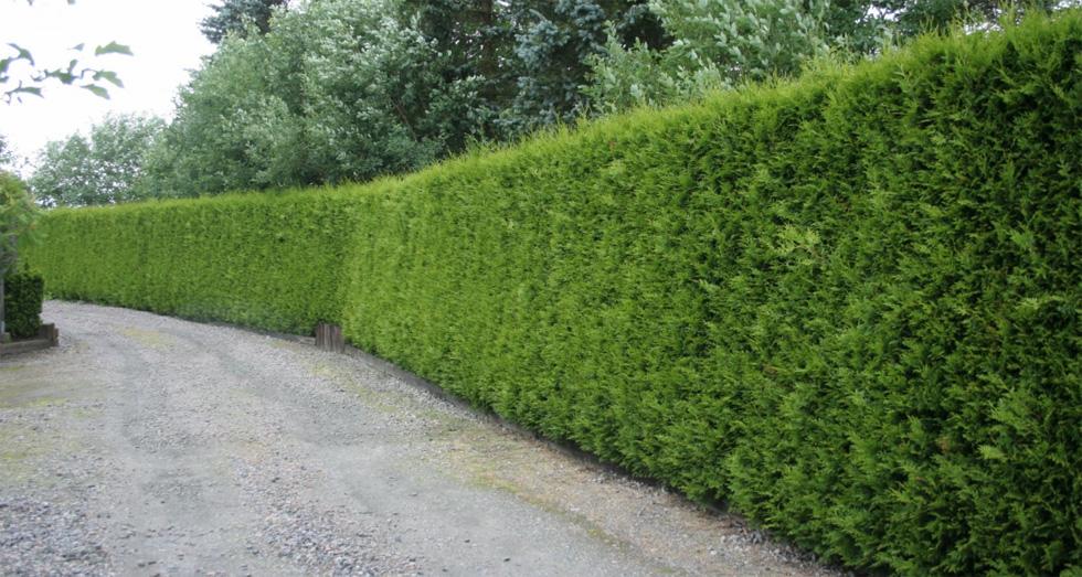 Vi har valt en häck som heter Thuja Brabant. Den växer snabbt, är grön året om och kostar ungefär 100 kr/plantan om man köper dem 120 cm höga. Vår häck blir ca 40 meter vilket blir ca 10.000 kr då den planteras med ca 2,5 plantor/meter. Foto: Byggahus.se