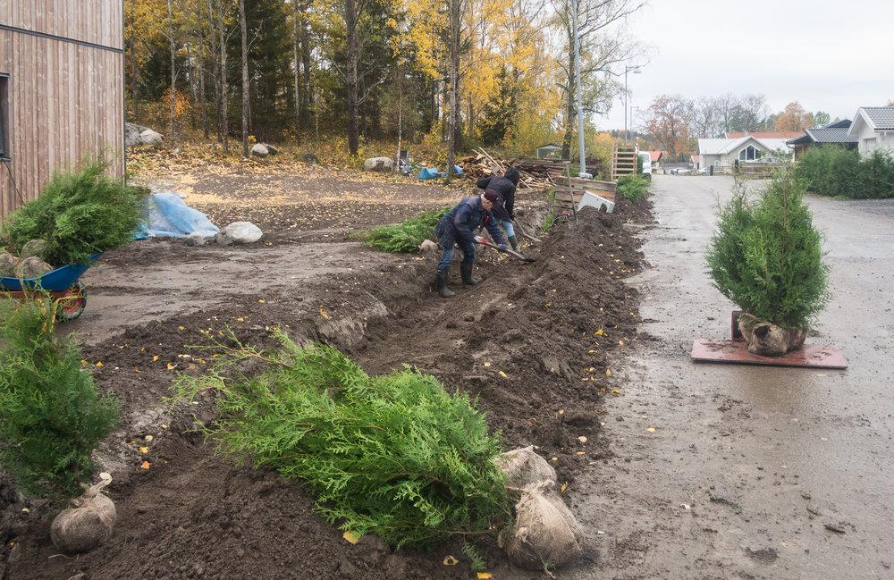 Markfirman grävde ett dike och underst la vi matjord och en droppslang, sen thujorna och på med mer jord. Sedan knyter man upp nätet som sitter runt rotklumpen. Inte så svårt, men tar en stund med 100 plantor.