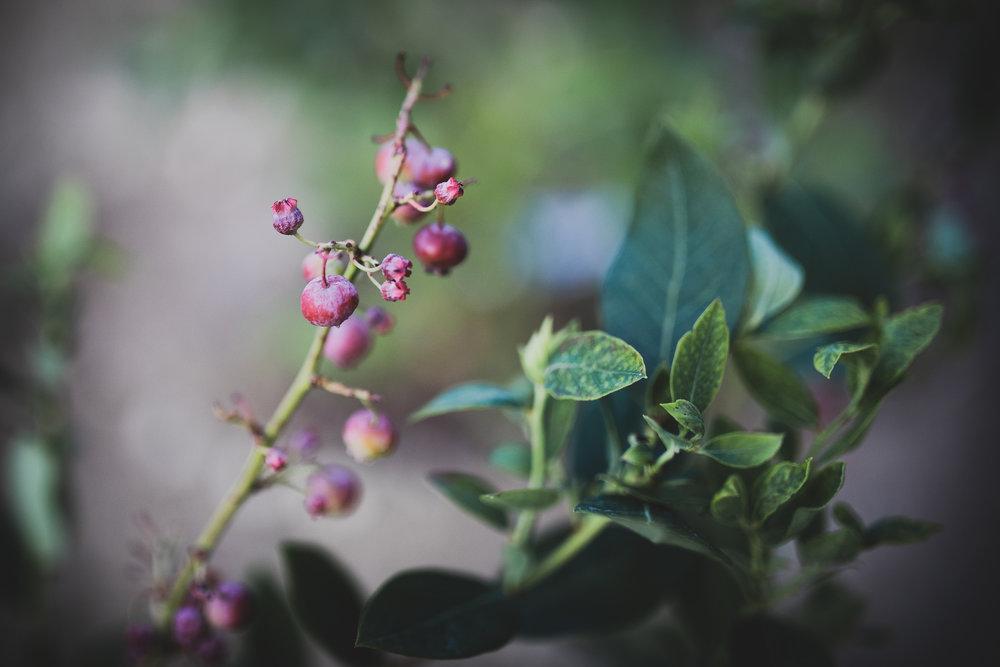 Vi har satt några få buskar och träd, bl a amerikanska blåbärsbuskar…