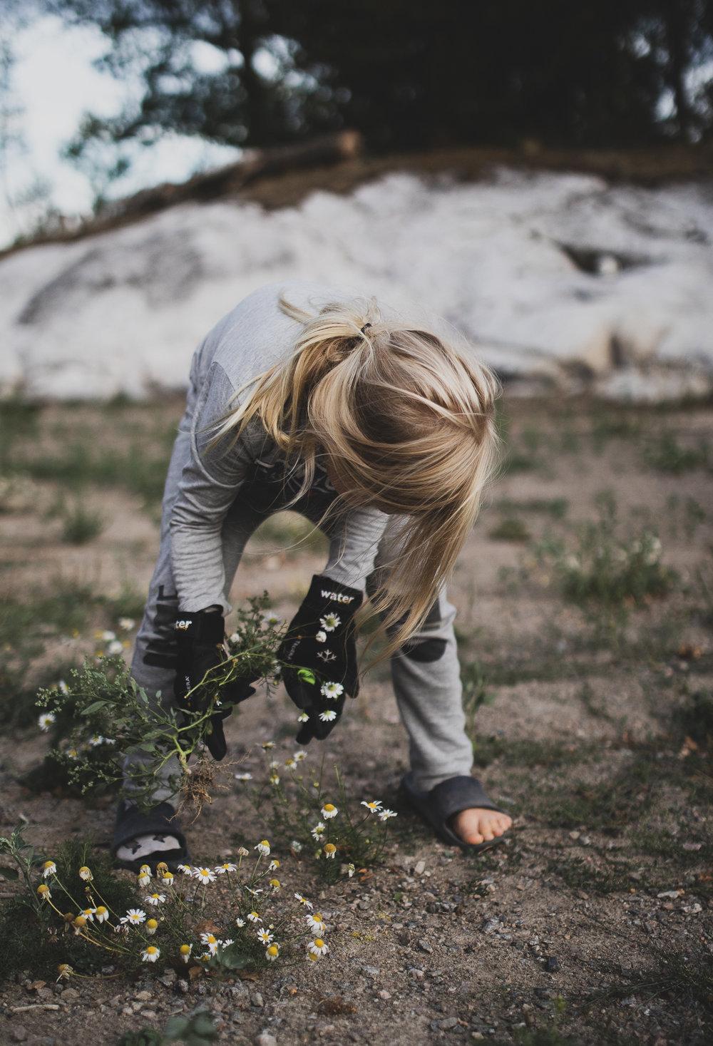 I och med bevattningsförbudet blev det ingen gräsmatta, den frästa jorden har istället invaderats av nåt prästkragsiknande ogräs som tack och lov barnen gillar att rycka.