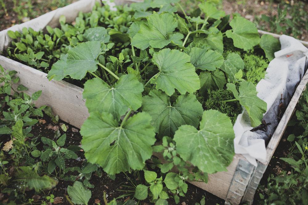 Vi har även odlat några pallkragar med spenat, squash, dill, tomater, svartkål, jordgubbar och örter.