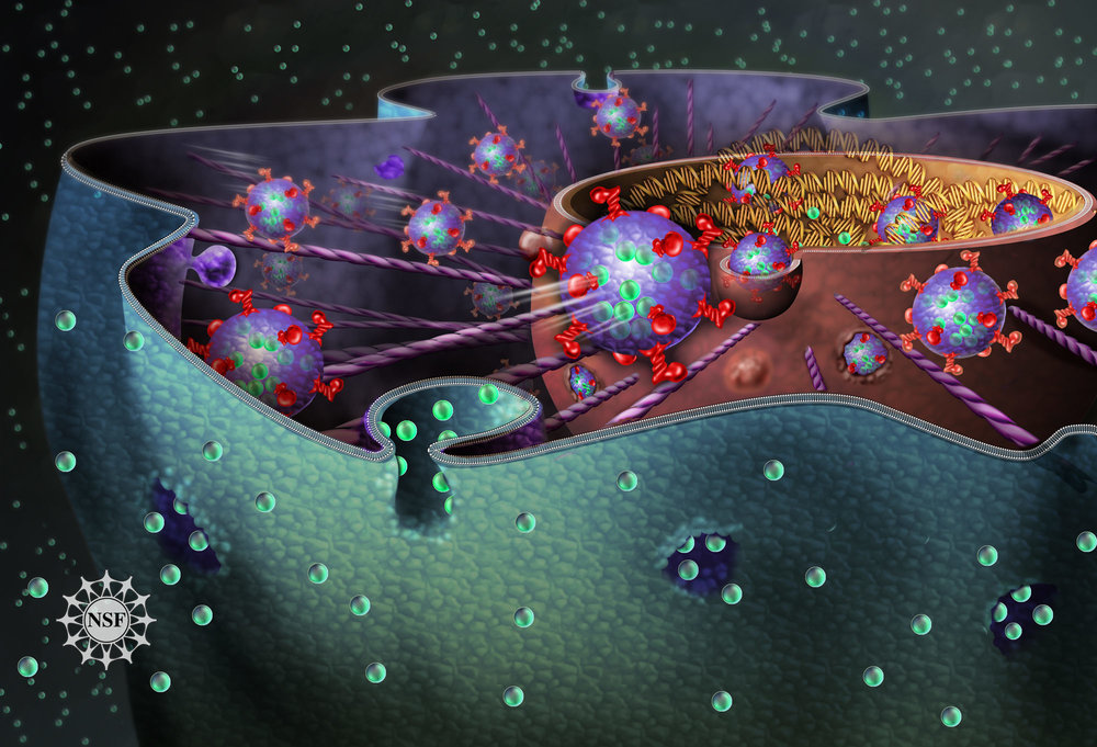 THE NUCLEUS OF A CELL - CREDIT: NICOLLE RAGER FULLER