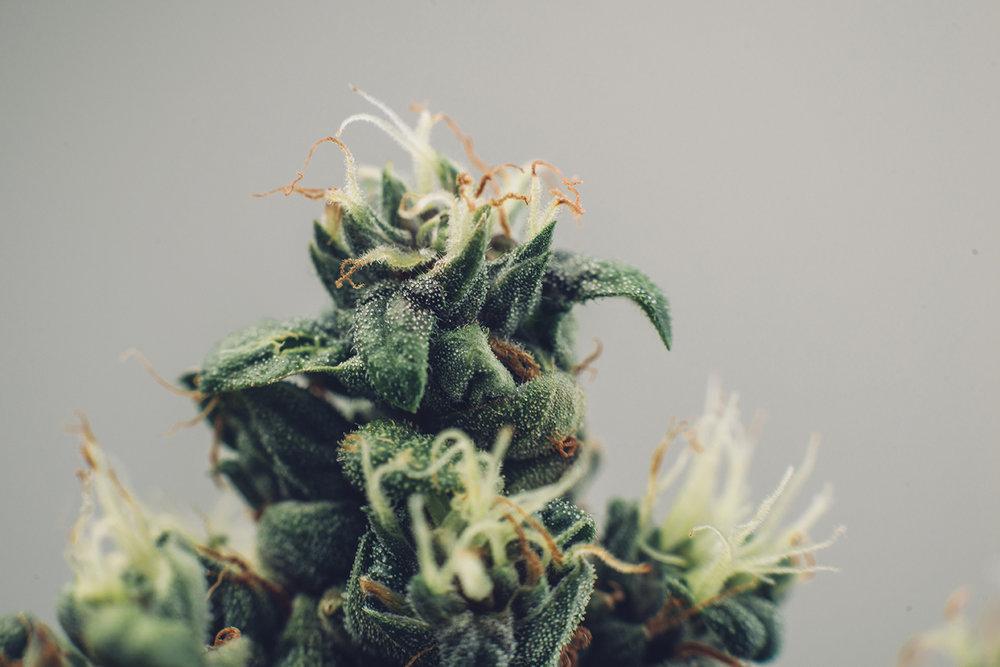 medicalcannabisbud_web.jpg