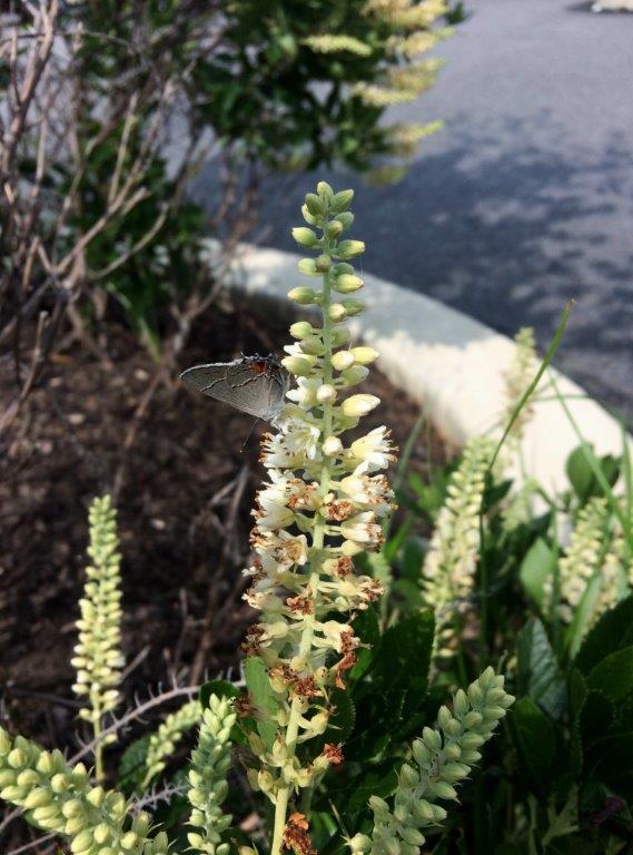 Karner butterfly on Lupine flower