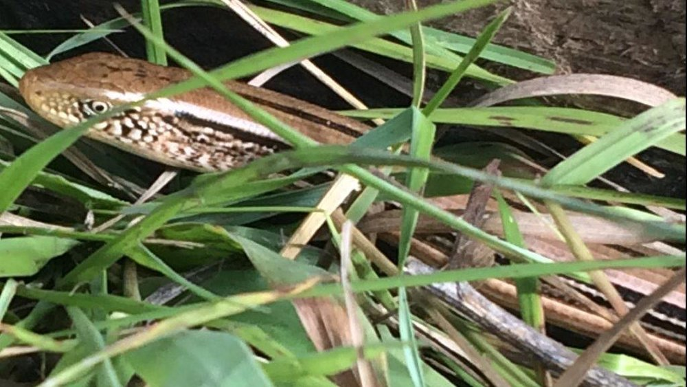Glass lizard/snake