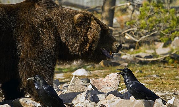bear-raven.png