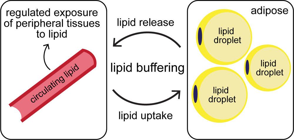 lipid_buffering.jpg