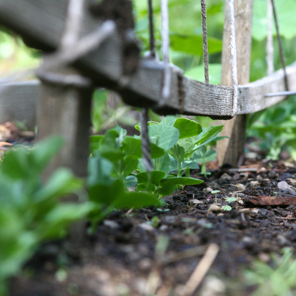Baby peas in our home garden just waiting to find their way to your plate.