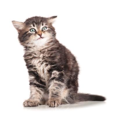 bigstock-Little-Kitten-63341257.jpg