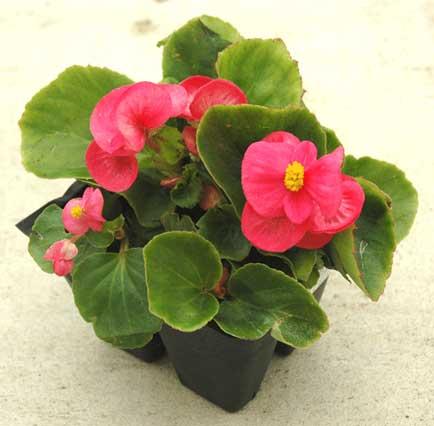 02_F1204-Begonia-Pink-Greenlea.jpg