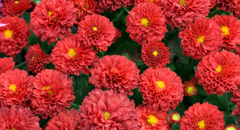 Fall kalamazoo flower group p 4 compact red mum 19g izmirmasajfo