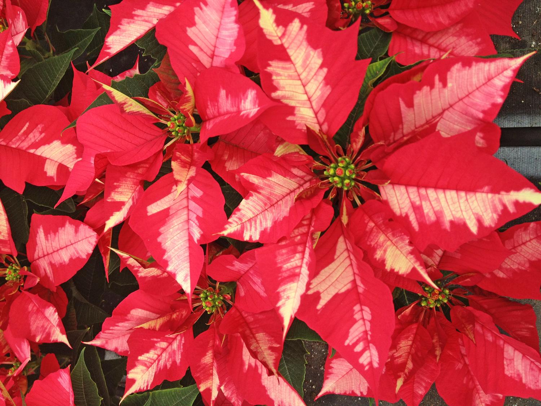 Poinsettia & Holiday — Kalamazoo Flower Group