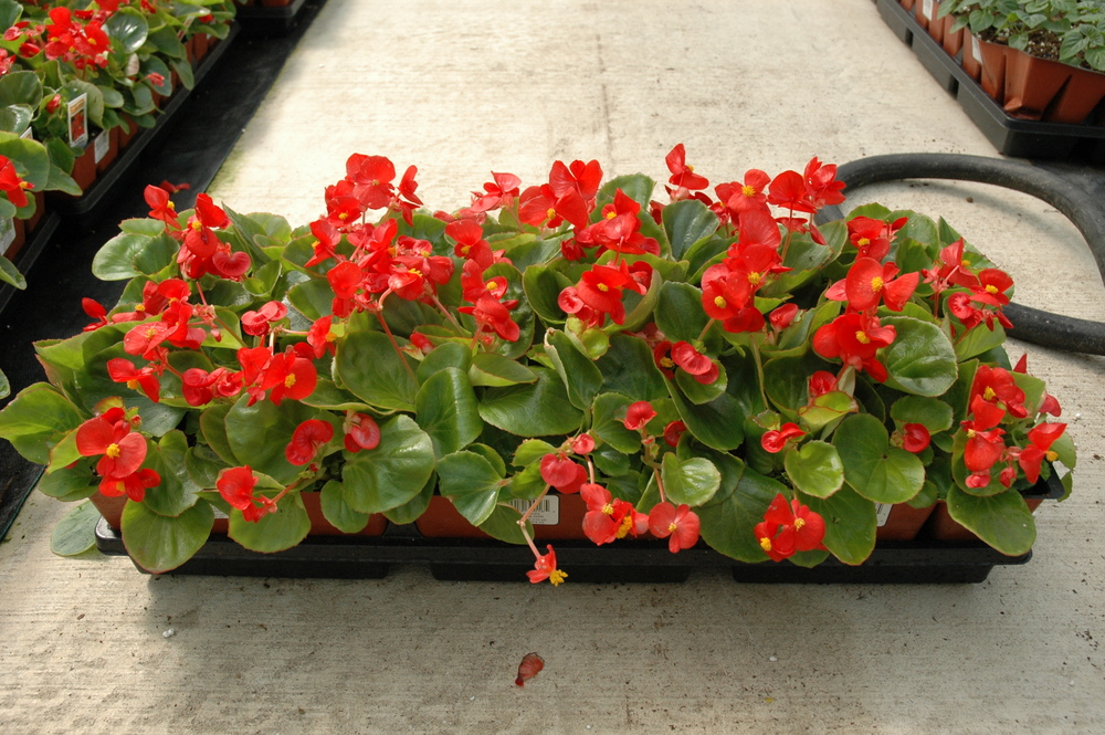 F-606 Begonia Red.jpg