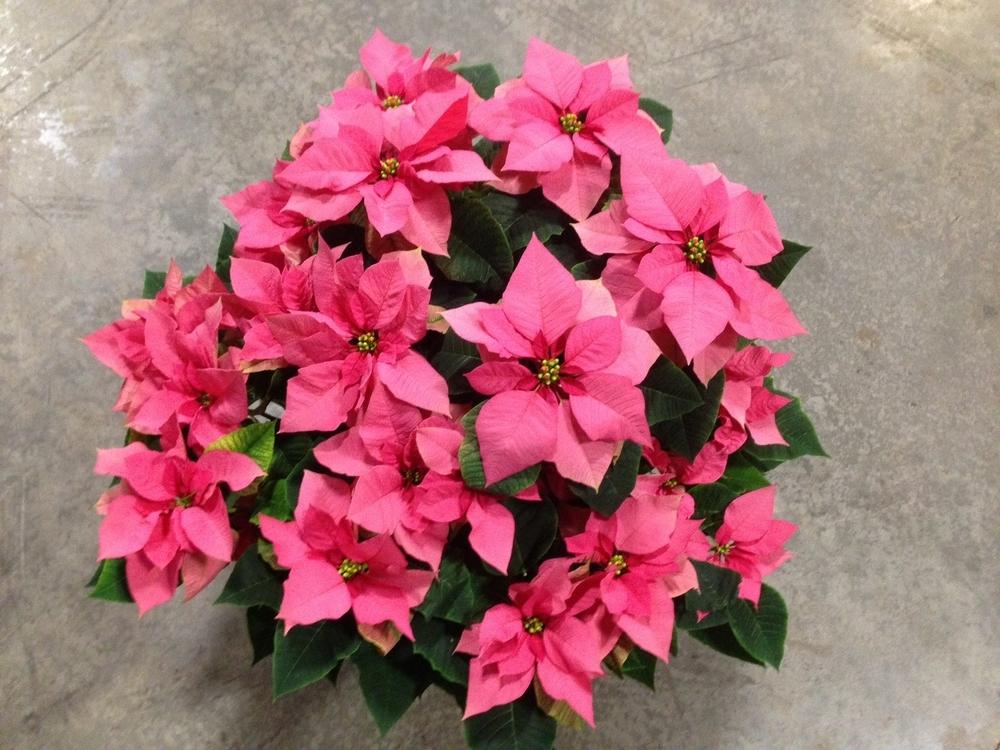 10IN Pink Poinsettias 2.JPG