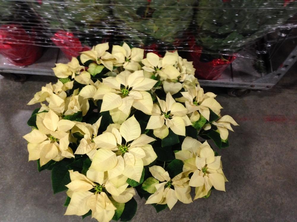 10IN White Poinsettias 3.jpg