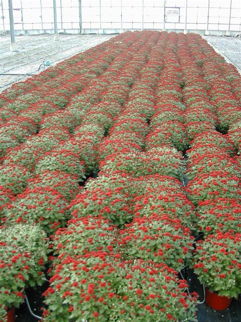 8in Mums - Red.JPG