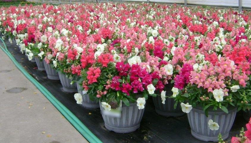 Plants Unlimited Meijer D11 Patio Pots6 041015.jpg