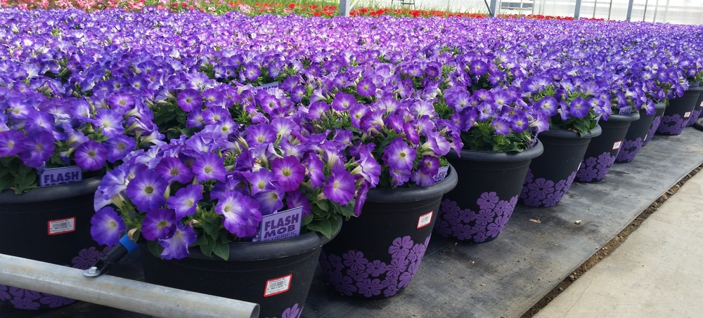 D12 Flower Clusters - Petunia Flash Mob Blue - Quality.jpg