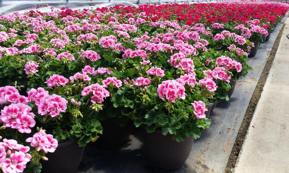 D10 Bella Planter - Zonal Geranium - Quality.jpg