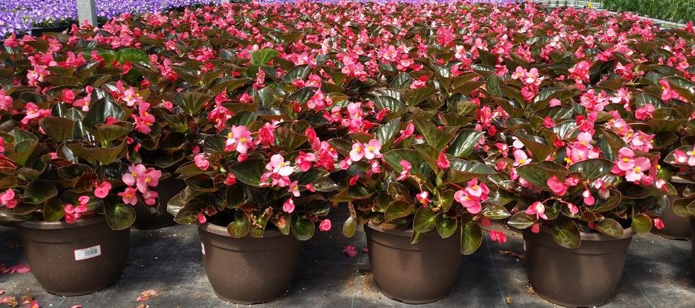 D10 Bella Premium Annuals Mix 2 - Big Begonia - Quality.jpg